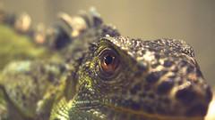 Kaiju (ThatJustinStewart) Tags: closeup lizard og godazilla