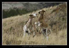 """Playful Foals"" (Lisa L Kee Photography) Tags: horse nature canon wildlife northdakota wildhorse foal theodorerooseveltnationalpark canon7d lisalkee lisalkeephotography canonef100400mmf4556lisiiusm"