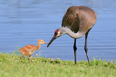 A hungry Florida sandhill crane colt accepts a tasty earthworm from its parent. (Jill Bazeley) Tags: county baby coast nikon florida crane space wildlife great birding chick trail parent worm ornithology birdwatching colt vr sandhill wetland brevard grus 70200mm earthworm canadensis d7000