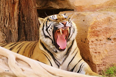 Yaaawm... I need to sleep! (Amro Afifi) Tags: animal unique wildlife tiger amroafifi