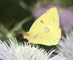 Colias croceus (Pietro Niolu) Tags: sardegna lepidoptera colias pieridae coliascroceus coliadinae ittiri