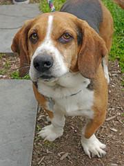 Buster_01 (AbbyB.) Tags: rescue dog pet beagle newjersey canine shelter adopt bassethound shelterpet petphotography easthanovernj mtpleasantanimalshelter