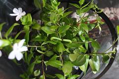 IMG_0024 (J_turner6) Tags: hawk moth caterpillars oleander daphnis nerii