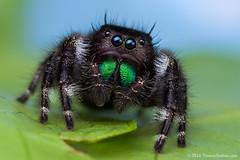 Phidippus audax Female jumping Spider (Thomas Shahan) Tags: macro oregon spider jumping pentax thomas workshop salem audax macrophotography shahan phidippus bugshot