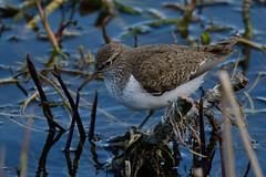 Closer Common. (stonefaction) Tags: nature birds scotland angus wildlife loch sandpiper common kirriemuir kinnordy