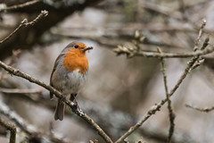 Robin-2450 (WendyCoops224) Tags: robin canon eos forestofdean 70d 100400mml april2016 wendycooper