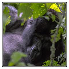 Gorilla at Bwindi (Crested Aperture Photography) Tags: gorilla greatlakes uganda animalplanet ug eastafrica greatnature centralafrica ugandawildlifeauthority gorillaberingeiberingei bwindiimpenetrableforestnationalpark crestedaperture