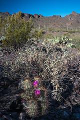 Hedgehogs in Bloom (courtney_meier (away)) Tags: arizona cactus desert tucson echinocereus claretcup picachopeakstatepark hedgehogcactus desertspring desertblooms