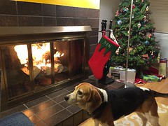 First fire in the fireplace - Christmas Eve (jkerssen) Tags: beagle