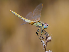 oro con alas (Santi BF) Tags: bug insect dragonfly bicho liblula insecto sympetrum sympetrumfonscolombii odonato