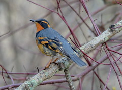 Varied Thrush (Neal D) Tags: bird bc thrush abbotsford ixoreusnaevius variedthrush mcdonaldpark