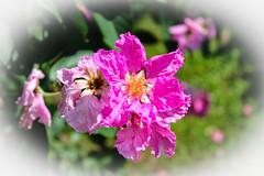 Unknown Pink Flower, Bicentennial Park, Darwin (betadecay2000) Tags: park city pink flowers flower tree outdoor pflanze rosa australia darwin australien northern blume blte baum bicentennial busch territory blten austral blhen flowre austrlie nordaustralien