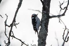 quabbinwinter2016-180 (gtxjimmy) Tags: wood winter bird water nikon massachusetts newengland valley quabbin tamron pecker supply ware belchertown quabbinreservoir d7100 150600mm nikond7100