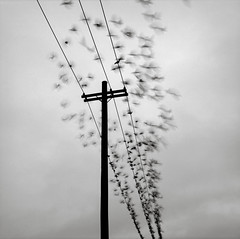 Portland (austin granger) Tags: motion lines birds portland time flock flight moment telephonepole alight gf670 austingranger