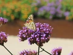 Roter Scheckenfalter - Enz /Mhlacker (thobern1) Tags: park butterfly germany landesgartenschau schmetterling badenwrttemberg 2015 enz mhlacker schachbrettfalter enzkreis