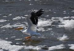 Pelican Flying_3861 (Porch Dog) Tags: winter bird nature kentucky wildlife january feathers pelican fx avian tennesseeriver 2016 garywhittington nikond750 nikon200500mm