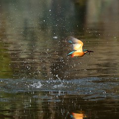 Common Kingfisher (myu-myu) Tags: bird nature japan nikon d800 commonkingfisher alcedoatthis wildbird   afsnikkor300mmf4epfedvr