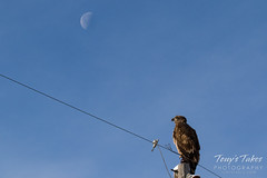 January 31, 2016 - A young Bald Eagle sits below the moon in Adams County. (Tony's Takes)