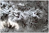 Snow in the Pines (ctofcsco) Tags: 1200 1d 1div 20 200mm 2015 bokeh canon colorado coloradosprings ef200mm ef200mmf2lisusm eos1d eos1dmarkiv explore explored geo:lat=3893083778 geo:lon=10489145278 geotagged gleneyrie green mark4 markiv nature northamerica pine pinebranches snow supertelephoto telephoto unitedstates usa white wildlife winter outdoor best wonderful perfect fabulous great photo pic picture image photograph