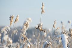 Panurus biarmicus (aixcracker) Tags: winter snow bird reed suomi finland vinter lumi talvi sn porvoo fgel lintu vass borg beardedreedling kaisla kaislikko panurusbiarmicus viiksitimali nikond800 partatiainen skggmes