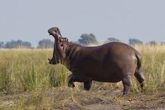 hyppo (marco.fanchini) Tags: africa nature water animal honeymoon natural natura acqua animali sudafrica viaggiodinozze ippopotamo hyppo