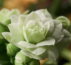Calendiva (Escipi) Tags: white flower macro green none sigma