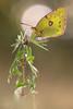 Hufeisenklee Gelbling - Goldene 8 (Colias alfacariensis)_Q22A8170-BF (Bluesfreak) Tags: insekten schmetterlinge hardheim tagfalter hufeisenkleegelblinggoldene8coliasalfacariensis