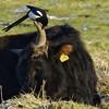 Synergie durch Putzervogel - 001-2016_Web (berni.radke) Tags: bird rind magpie synergy vogel münsterland stever synergie elster olfen heckrind heckcattle steveraue putzervogel