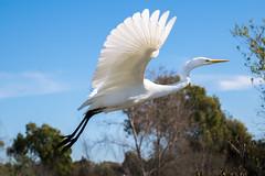 RanchoSanJoaquinWildlife-2 (rskim119) Tags: ca white bird nature animal flying nikon san outdoor wildlife great off joaquin take marsh tamron egret sanctuary irvine rancho 70300 irwd d3300
