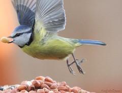 Blue Tit (KingfisherDreams) Tags: bird nature wildlife peanuts oiseau bluetit cyanistescaeruleus paridae birdflight gardenbird
