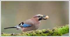et hop!!! (guiguid45) Tags: bird nature nikon forêt oiseaux sauvage garrulusglandarius loiret geaideschênes corvidés 500mmf4 d810 passereaux