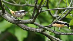 long-tailed shrike (kampang) Tags: laniusschach longtailedshrike rufousbackedshrike