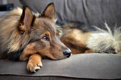 Sultan (bramtop_1990) Tags: dog brown chair sheltie ears hond sultan huisdier bruin eurasier