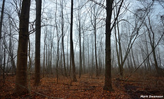Rainy Forest (mswan777) Tags: trees winter nature leaves rain weather fog forest landscape woods nikon outdoor michigan scenic sigma tall wilderness 1020mm d5100