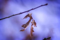 Afterlife (shanky_v2) Tags: winter tree leaf dof bokeh foliage