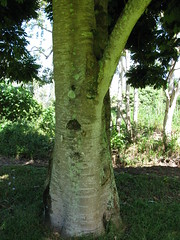 starr-091104-0893-Castanospermum_australe-trunk_and_bark-Kahanu_Gardens_NTBG_Kaeleku_Hana-Maui (Starr Environmental) Tags: castanospermumaustrale