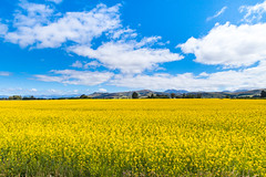 spring actually (nzfisher) Tags: flowers blue newzealand summer sky flower field yellow clouds canon season landscape spring blossom blossoms cauliflower southisland 24mm seasonality