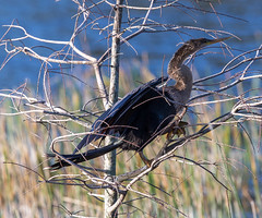 20160213-_74P6809.jpg (Lake Worth) Tags: bird nature birds animal animals canon wings florida wildlife feathers wetlands everglades waterbirds southflorida birdwatcher canonef500mmf4lisiiusm
