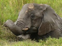 Mud Bath ! (Mara 1) Tags: africa wild elephant green wet water grass reeds outdoors kenya wildlife masaimara