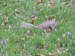 Squirrel in the crocus field IMG_2634 (tomylees) Tags: park castle grey squirrel crocus february friday 5th essex colchester 2016