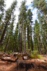 Pine Trees (sean-osullivan) Tags: trees sky green nature pinetree pine landscape log nikon outdoor logging wideangle adelaide tall needles southaustralia treestump d610 adelaidehills forrestfloor kuitpoforrest forrestdetritus