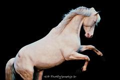 Blue (PhotOw'graphie) Tags: blue horses horse cheval blanc cremello quitation crin entier talon
