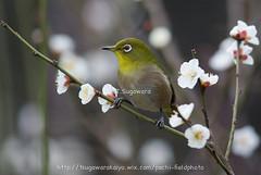 _IMG_EOS 1D X1917 (pechi-fieldtrip) Tags: nature birds japan