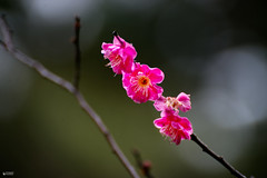 Early bloom - plum flowers bloomed before the extreme cold weather (ys.khoo) Tags: pink winter plants flower macro japan garden kanazawa kenrokuen plumflower photograpgy yskhoo