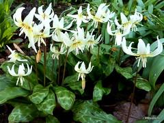 Erythronium californicum 'White Beauty'