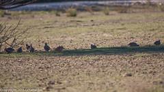 Perdrix rouge_151201_RAS (f.chabardes) Tags: france animaux aude languedoc oiseaux decembre 2015 redleggedpartridge alectorisrufa 4t galliformes perdrixrouge phasianidés narbonnais perdicinae réserveafricainesigean archosauriens