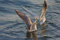 Seagulls (Sreejesh Kalari Valappil) Tags: dubai uae birds seagull d7100 sigma70300 дубай