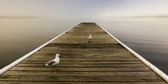 Three birds on a Jetty (liipgloss) Tags: seagulls fog newcastle landscape jetty australia nsw lakemacquarie