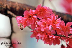 Taiwan Cherry&Bee (Whitefox Chen) Tags: sun sunlight flower canon cherry taiwan bee sakura taipei     zhonghe  canon70300mm