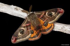 Saturnia pavonia (Linnaeus, 1758) (Haraldseide) Tags: moth lepidoptera saturnia emperor pavonia saturniapavonia saturniidae emperormoth smallemperormoth